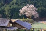 神宮寺跡の大桜