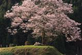 神宮寺跡のエドヒガン