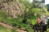 吉備津神社のサクラ