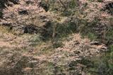 井永の彼岸桜
