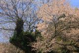 須佐神社の江戸彼岸桜