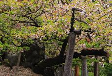 太閤秀吉お手植えの桜