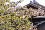 法光寺の太閤桜