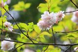 西光寺の大村桜