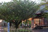 大村神社のオオムラザクラ