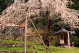 大虫の枝垂れ桜