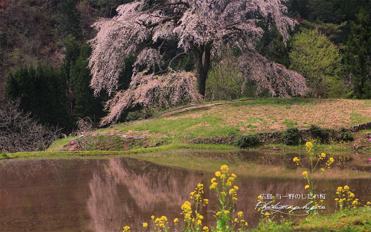 与一野のしだれ桜 壁紙