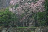石橋正光屋敷跡の桜