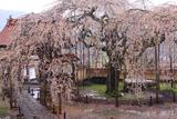 圓立寺のしだれ桜