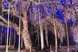 円立寺の枝垂れ桜