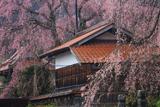 円正寺のしだれ桜