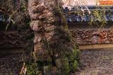 円正寺の枝垂れ桜
