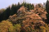 妙厳寺のおまきサクラ