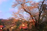 妙厳寺のお播き桜