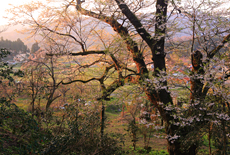 島根県の桜
