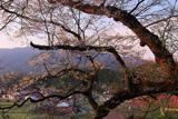 妙厳寺のおまき桜