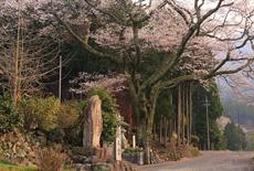 道仙寺のサクラ