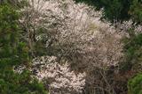 下蚊屋明神の桜