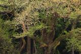 根雨のヒガンザクラ