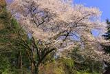 出雲瀧の桜