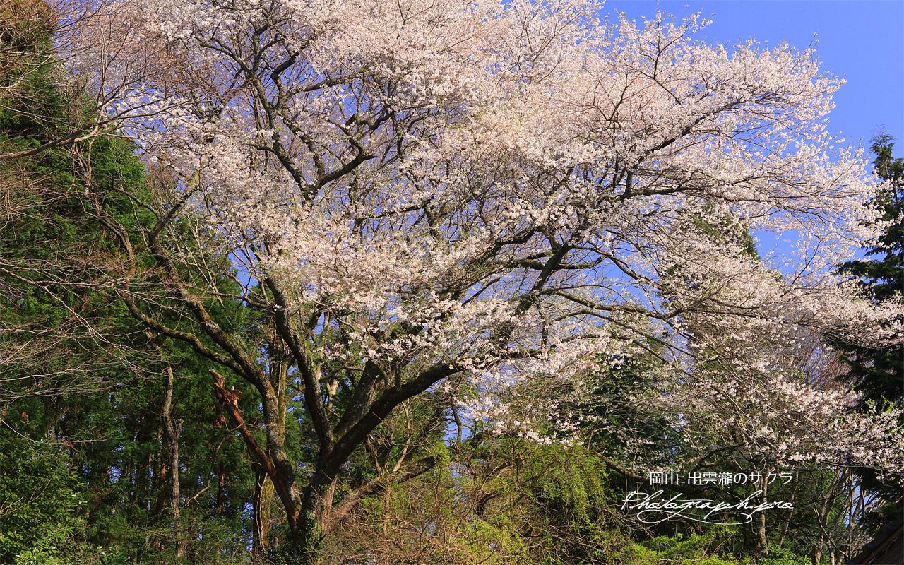出雲瀧の桜 壁紙