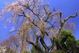 笠岡家のしだれ桜