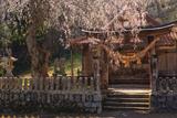 橋山大年神社のしだれ桜