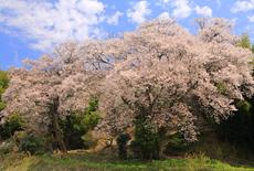 張戸お大師桜