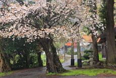 須佐神社のサクラ
