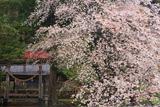 須佐神社の山桜