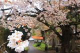 須佐神社のヤマザクラ