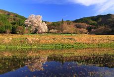 広島県の桜