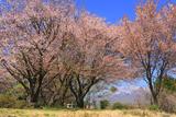 蒜山櫻ヶ丘公園の桜