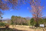 真庭市 櫻ヶ丘公園の「黒岩の山桜」後継樹