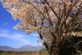 蒜山ハーブガーデンの桜