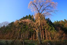 原田邸のしだれ桜