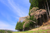 大河原淵桜