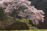 与助のしだれ桜