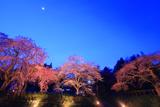 宝蔵寺と観音堂の桜