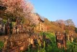 川手家の枝垂れ桜