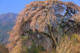 桑田薬師堂の枝垂桜