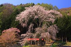 水上熊野神社のしだれ桜