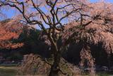 水上熊野神社のシダレザクラ
