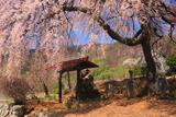 片倉南原お堂の桜