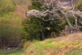 片倉南原お堂のエドヒガン桜