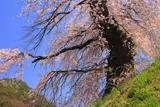 片倉の道祖神の桜