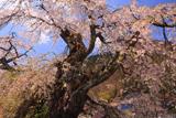 片倉の道祖神桜