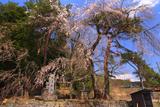 守屋神社のしだれ桜