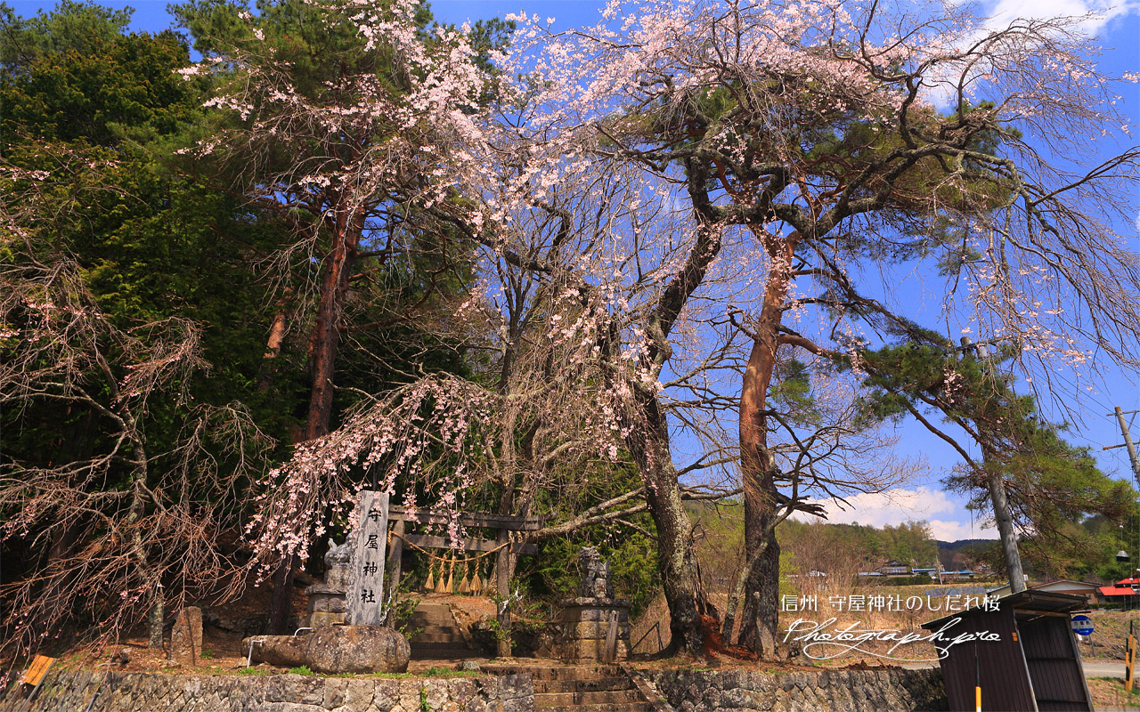 守屋神社のしだれ桜 壁紙