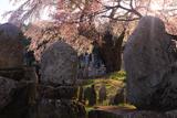 中塔阿弥陀堂のしだれ桜